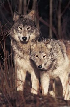 Brother Wolf photo by Jim Brandenburg