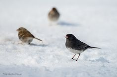 """Seeing Through God's Eyes: """"Love Those 'Lashes'"""" A junco in the snow."""