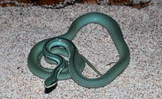 Image for Free wallpaper Barons racer turquoise reptile snake REP0055