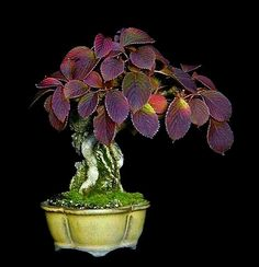 Red Leaf Plum Prunus bonsai