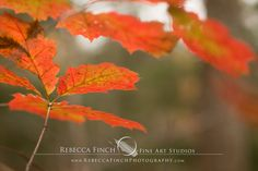 "The ""Upstate Autumn"" Photography Collection by Rebecca Finch is now available at:  http://rebeccafinch.zenfolio.com/upstateautumn  View the rest of the collection and order the images on over 40 products. #rebeccafinch #upstateautumn #upstatenewyork #fallphotography #taughannockfalls #fallscenery"