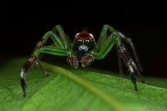 Jumping Spider IV - Little Hulk by *AlHabshi on deviantART