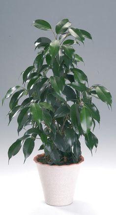 Ficus benjamina (Moraceae) M. csüngőágú fikusz DK-Ázsia (PALEOTROPIS)
