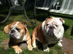 """❤ """"So what's the hold up w/the grilling?"""" ❤ Posted on Bulldog Pics"""