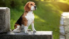 Are you interested in a Beagle? Well, the Beagle is one of the few popular dogs that will adapt much faster to any home. Baby Beagle, Beagle Puppy, Baby Puppies, Most Popular Dog Breeds, Best Dog Breeds, Cat Breeds, Dog Lady, Family Dogs, Dog Houses