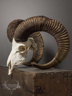 animal skull Mouflon Skull and Horns - animals Ram Skull, Deer Skulls, Skull Art, Animal Skeletons, Animal Skulls, Animal Skull Drawing, Skull Drawings, Skull Reference, Sculptures