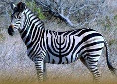 Zebrakkah