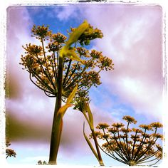 Bronze Fennel - Photo by wsvo • Instagram