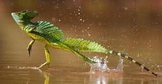 1. O basilisco é uma espécie de lagarto que tem a habilidade de correr sobre a água sem afundar e. por isso, também é conhecido como lagarto Jesus Cristo.  Os 13 bichos desta lista são reais, mas poderiam estar em livros do Harry Potter ou em lendas indígenas - ou, pelo menos, ter inspirado a criação dessas histórias. Algumas fotos podem ser de parentes próximos, e não exatamente das espécies encontradas na Amazônia