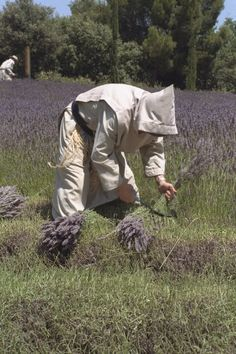 Monk gathering lavender in the fields of the Benedictine Abbaye Sainte-Madeleine du Barroux in France.