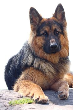 big dog Long-haired german shepherd on a big stone isolated on white Long Haired German Shepherd, German Shepherd Puppies, German Shepherds, Dog Collar Tags, Aussie Puppies, Samoyed Dogs, Dog Behavior, Big Dogs, Dog Pictures