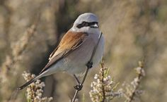 Morning glory - Red-backed Shrike by *Jamie-MacArthur on deviantART