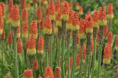 All About Red Hot Poker Plants