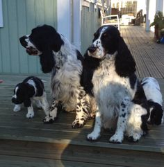 English Springer Spaniel, Paw Prints, Spaniels, Hearts, Puppies, Dogs, Animals, Cubs, Animales