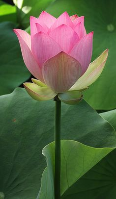 Lotus Flower IMG_1741 by Bahman Farzad, via Flickr