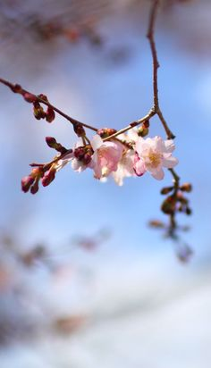 Early cherry blossoms in Central Park
