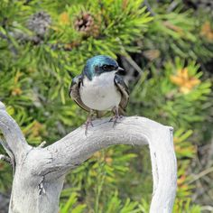 Tree swallow; Dawn Webster; June 2015; Yellowstone National Park, Wyoming (pinned by haw-creek.com)