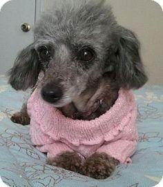 ***9/1/14 STILL LISTED***Matthews, NC - Toy Poodle. Meet Wendi, a dog for adoption. http://www.adoptapet.com/pet/9938452-matthews-north-carolina-toy-poodle
