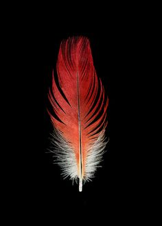 Parrot Feather  - Bird - Fine Art Photograph - Nature Photograph - Black Background - Red - Orange by SeanoEye on Etsy