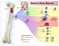 blood-and-bone-marrow.jpg (3300×2550)