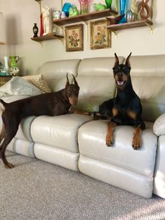 Are you looking for Quality, Affordable Dog Accessories and things related to Pets? Serving the needs of pet owners around the world Doberman Colors, Doberman Love, Doberman Shepherd, Doberman Pinscher Dog, Cute Puppies, Cute Dogs, Service Dogs, Working Dogs, Dog Accessories