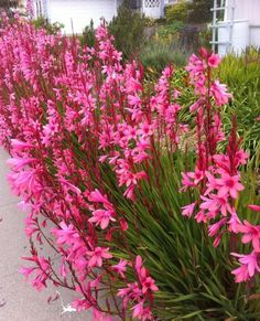 Watsonia is flowering garden plants. Growing Watsonia is easy enough. These garden plants will thrive in well-drained soil where there is full sun exposure. Tall Flowers, Summer Flowers, Garden Beds, Garden Plants, Flowering Plants, Pink Perennials, Gladiolus Flower, Drought Resistant Plants, Organic Mulch