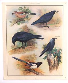 of the Nature Set - Large Omnivorous Birds Vintage Macmillans School / Education Posters Vintage Artwork, Vintage Prints, Vintage Posters, Vintage Illustrations, Class Pictures, Poster Pictures, Litho Print, Nature Posters, Hanging Posters