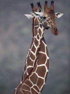 ♡ #seaofhearts #animal #giraffe