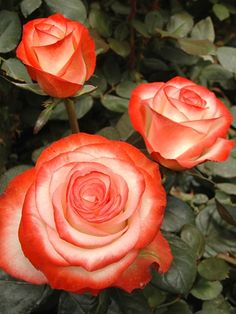 rosa farfalla