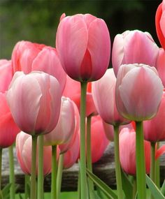 Tulip Pink Impression - Impression Tulips - Tulips - Flower Bulbs Index