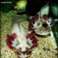 couleur axolotl