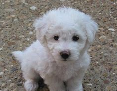"""bichon bolognese 