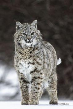 Montana:  Bobcat standing proud