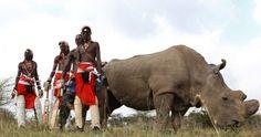 La ciencia a salvar al rinoceronte blanco del norte