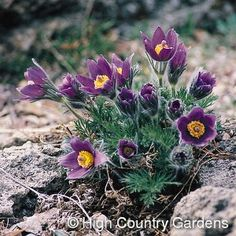 "8-10"" x 8-10"" w. (seed propagated). A beloved wildflower from the mountains of Europe, Pasque Flower is a harbinger of spring, often poking up through late-winter snows to bloom. The dark lavender-blue, bell-shaped flowers are followed by fluffy white, ornamental seed heads. A willing re-seeder, Pulsatilla vulgaris will naturalize and gently spread in your garden when happy. Wonderful when planted with early to mid-spring blooming wildflowers, tulips and daffodils,/a>. Easily grown in any…"