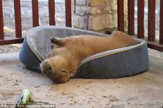 Unusual: The Texas couple even let rodent Gary, who weighs eight stone, sleep in their bed