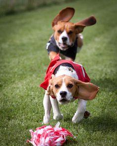 run beagles run..feel the wind in your ears!
