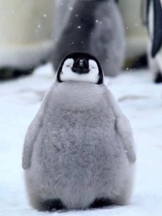 Here's a happy baby penguin to celebrate world penguin day! Cute Baby Animals, Animals And Pets, Funny Animals, Wild Animals, Strange Animals, Animal Pictures, Cute Pictures, Penguin Pictures, Animals Photos