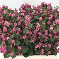 Symphoricarpos Magical Treasure also known as Snowberries, is a seasonal Pink cut flower - Symphoricarpos is usually available between August & the end of October. Wedding Flower Arrangements, Wedding Flowers, September Flowers, Amaranthus, Florist Supplies, Cut Flowers, Berries, Delicate, Seasons