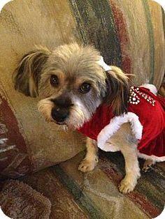 McKinney, TX - Shih Tzu/Schnauzer (Miniature) Mix. Meet Pescha a Dog for Adoption.