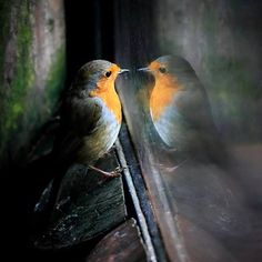 EUROPEAN ROBINS....aka English Robin, Robin, Robin Redbreast....live in the British Isles and across Europe, east to Western Siberia and south to North Africa....measure 5.0 – 5.5inches long with a wingspan of 8 – 9inches