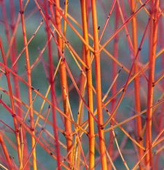 Cornus Sanuinea, Cornus sanguinea 'Midwinter Fire' for its stem which graduate from yellow at the base to fiery orange at the tips.