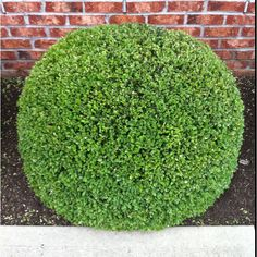Now that is a round hedge!