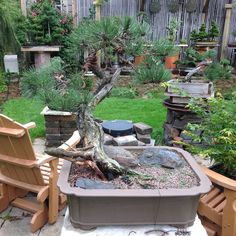 Ponderosa Pine Bonsai by Terry White: Duluth, MN. http://www.mnbonsainetwork.com