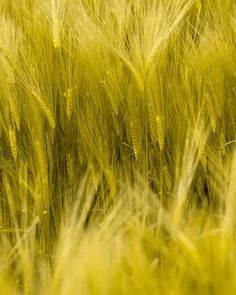 All the Arbikie Spirits are grown from the barley, potatoes and wheat grown on the Arbikie Estate. www.arbikie.com