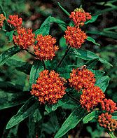 Asclepias, Butterfly Weed - if it's called a weed, even I should be able to grow it, right?