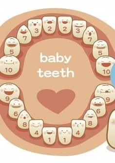 Baby tooth growth chart