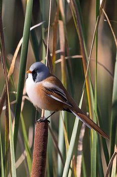 File:Panurus biarmicus -Oare Marshes, Kent, England -male-8 (3).jpg
