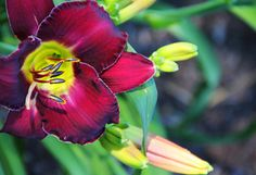 Daylilies at Franklin Park Conservatory and Botanical Gardens
