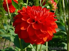 Quality dahlias grown in Washington State. We sell single dahlia tubers and dahlia bulbs that are true to name, guaranteed to grow and are free from viruses and diseases. Flower Crew, Growing Dahlias, Masquerade Wedding, Zinnias, Barn, Flowers, Plants, Gardening, Awesome